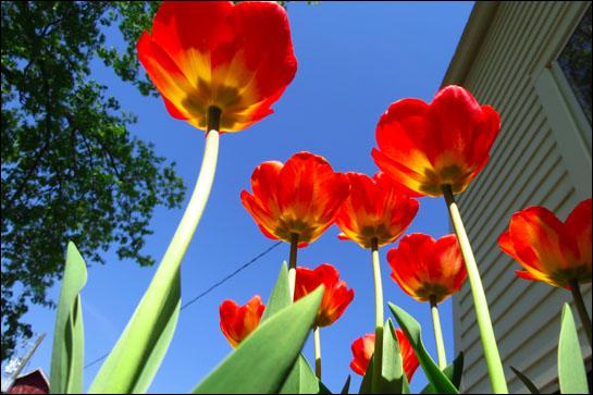 shocking-tulips-house-blogsize